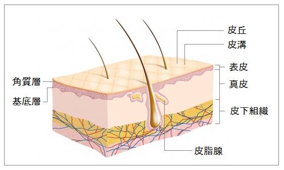 肌の真皮層のイラスト