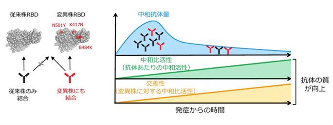 抗体の質的向上図